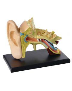 Anatomisk modell Öra 7,7 cm